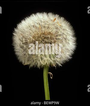 Dandelion (Taraxacum officinale) seedhead clock intact with mature seeds - Stock Photo