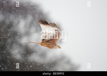 Leucistic red kite flying in a snow storm - Stock Photo