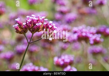 Vervain Verbena officinalis flowering Belgium - Stock Photo