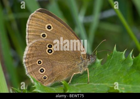 Ringlet Butterfly (Aphantopus hyperantus) underwing. Kent, UK, July. - Stock Photo