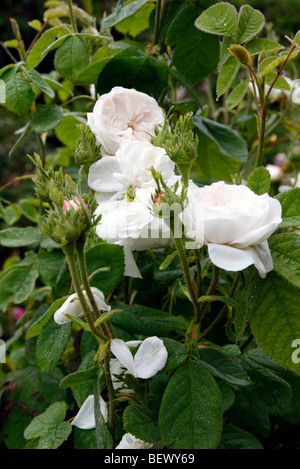 Rosa 'Madame Hardy' AGM - Stock Photo