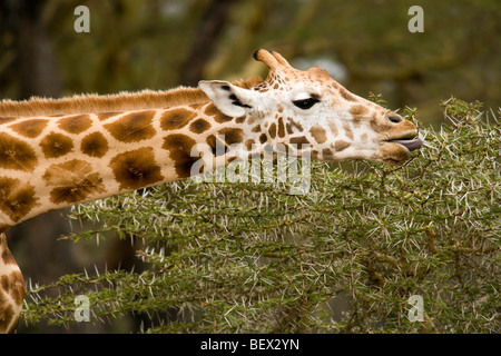 Close-up of Giraffe Feeding on Acacia - Lake Nakuru National Park, Kenya - Stock Photo
