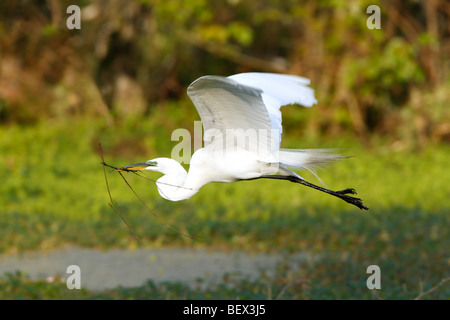 Great Egret in Flight - Stock Photo