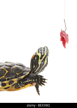 Turtle looking towards a fish hook - Stock Photo