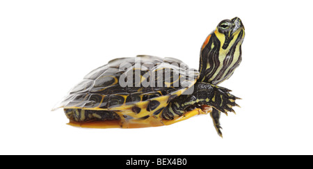 Water turtle isolated on white background - Stock Photo