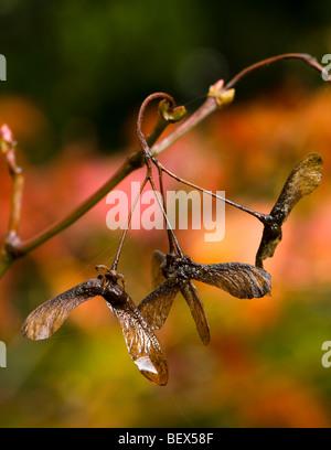 Acer japonicum Aconitifolium, Full Moon Maple cultivar seeds in Autumn - Stock Photo