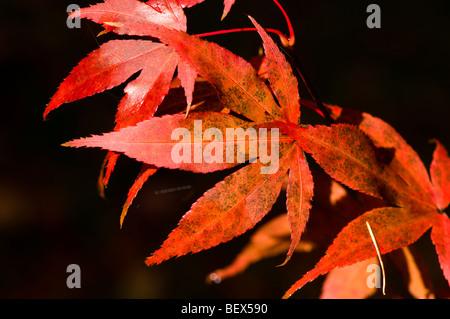 Acer palmatum atropurpureum leaves in Autumn - Stock Photo