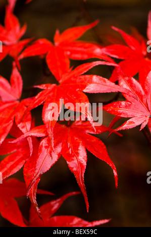 Acer palmatum Nuresagi, Wet Heron Maple leaves in Autumn - Stock Photo
