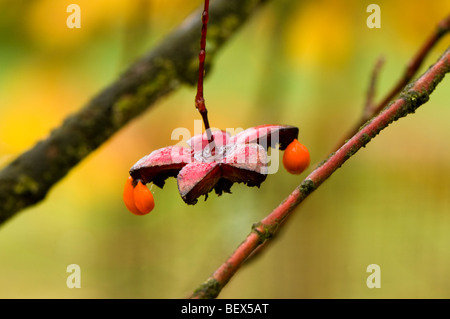 Autumn seeds of an Euonymus oxyphyllus Japanese or Korean Spindle Tree - Stock Photo
