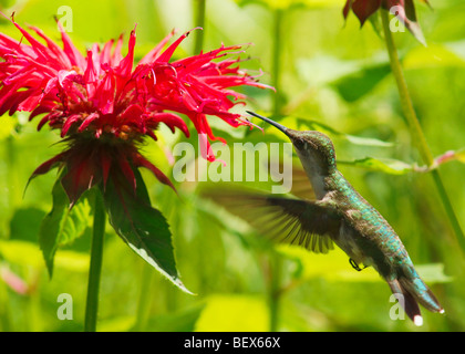 A Ruby-Throated Hummingbird drinking from red Monarda blooms - Stock Photo