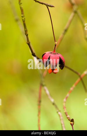 Seeds of an Euonymus oxyphyllus, Japanese or Korean Spindle Tree - Stock Photo