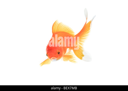 Gold fish against white background - Stock Photo