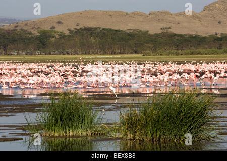 Flamingos - Lake Nakuru National Park, Kenya - Stock Photo