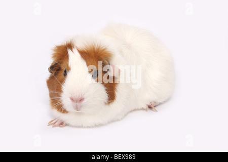 A guinea pig - Stock Photo