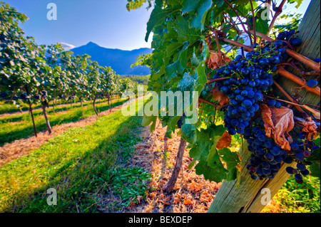 Clusters of grapes growing on grapevines at a vineyard along Highway 3 (Crowsnest Highway) in the Similkameen River - Stock Photo