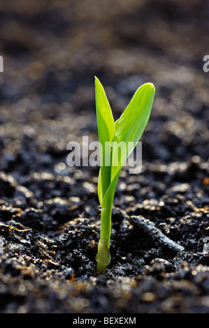 Agriculture - A corn seedling emerges from the soil in early morning light / Iowa, USA. - Stock Photo
