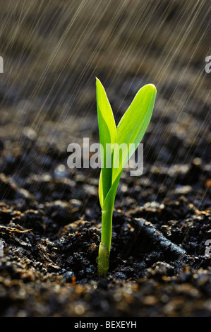 Agriculture - A corn seedling emerges from the soil in a Spring rainstorm / Iowa, USA. - Stock Photo