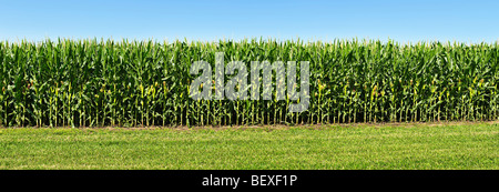 Agriculture - Sideview of a stand of mid growth grain corn, fully tasseled with developing ears / Iowa, USA. - Stock Photo