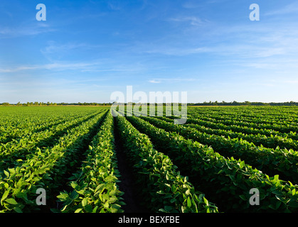 Agriculture - Healthy mid growth soybean crop in mid Summer / Iowa, USA.
