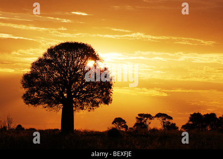 Bottle tree silhouetted in sunset Australia - Stock Photo