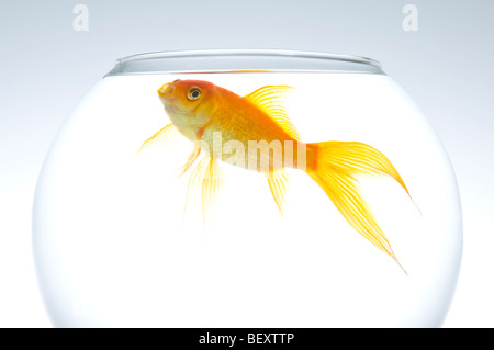 A single fantail goldfish (Carassius auratus) in a bowl. - Stock Photo