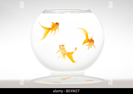 Three fantail goldfish (Carassius auratus) in a bowl. - Stock Photo