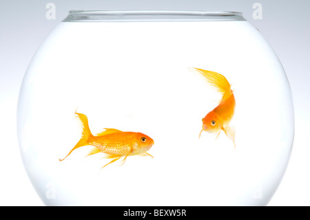 Two fantail goldfish (Carassius auratus) in a bowl. - Stock Photo