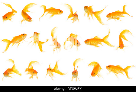 18 goldfish (Carassius auratus) on a white (255) background that can be cut out and resized as required - This is - Stock Photo