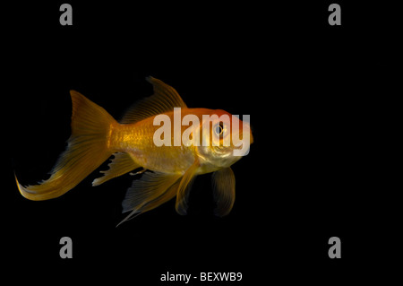 Close up of a single fantail goldfish (Carassius auratus) against a black background. - Stock Photo