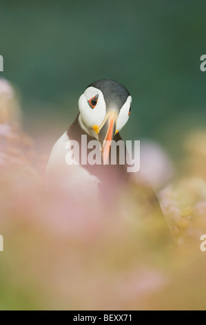 Atlantic Puffin (Fratercula arctica) in wildflowers, Saltee Islands, County Wexford, Ireland - Stock Photo