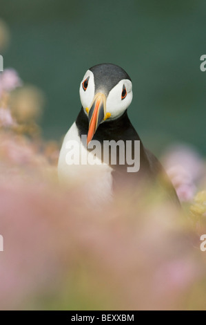 Atlantic Puffin (Fratercula arctica) in wildflowers, Saltee Islands, County Wexford, Ireland - Stock Photo