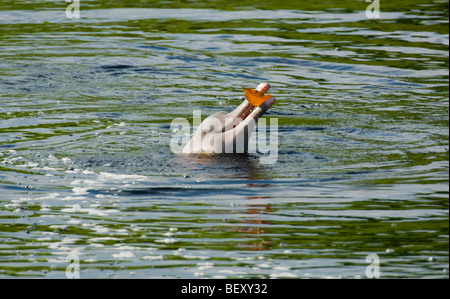 Amazon River Dolphin (Inia geoffrensis) Playing with floating leaf, Ariau River, tributary of Rio Negro,  Amazonia, - Stock Photo