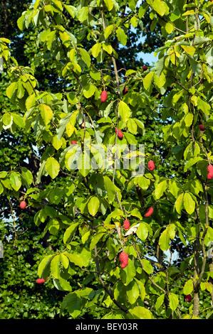Magnoliaceae MAGNOLIA OBOVATA thunberg s.o asia fruit Magnolie AUTUMN seedhead seed head red pink rose orange sticky - Stock Photo