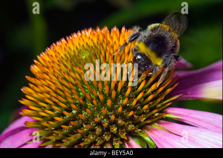 Echinacea purpurea flower flowering Bumble bee bumble-bee bumblebee fly insect animal Red Coneflower eastern purple - Stock Photo