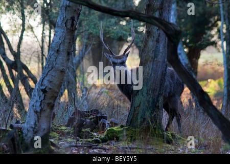 Sika stag (Cervus nippon) in woodland. Arne, Dorset, UK - Stock Photo