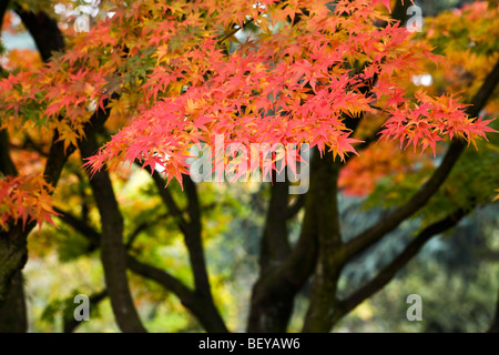 japanese maple - acer palmerum - in fall - Stock Photo