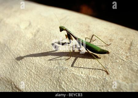 Giant African Praying Mantis - Stock Photo