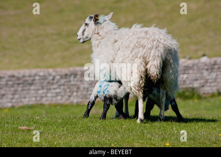 Two lambs suckling from mother in open field - Stock Photo