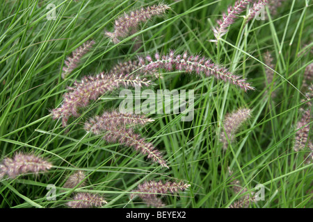 Chinese Fountain Grass, Pennisetum alopecuroides 'Karley-Rose', Poaceae aka Swamp-Foxtail, Chinese Millet Grass. - Stock Photo