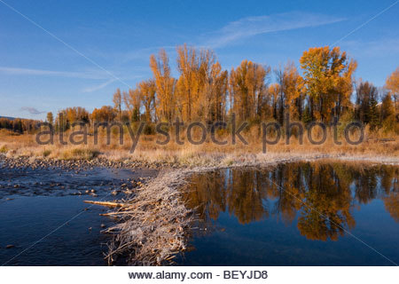 Several trees displaying their autumn colors are reflected in a pond behind an icy beaver dam in Wyoming. - Stock Photo