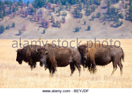 Three American bison (Bison bison) graze in a grassy field in Grand Teton National Park, Wyoming. - Stock Photo