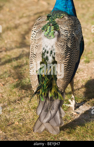 Common, Indian or Blue Peafowl or Peacock (Pavo cristata). New tail feather emergence after the moult. - Stock Photo