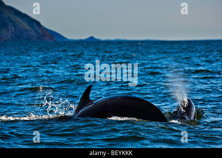 Long-Finned Pilot Whales, Globicephala melas, seen during a whale watching excursion from Pleasant Bay in the Gulf - Stock Photo