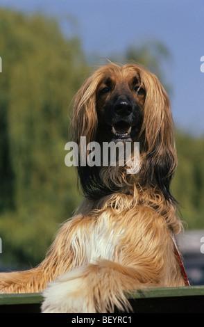 Afghan Hound (Canis lupus familiaris), portrait. - Stock Photo