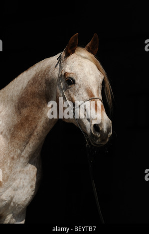 AraAppaloosa Horse (Equus caballus). Portrait of a stallion. This breed is a blend of Arabian and Appaloosa. - Stock Photo