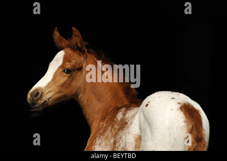 AraAppaloosa Horse (Equus caballus), foal. This breed is a blend of Arabian and Appaloosa. - Stock Photo