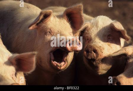 Domestic Pig (Sus scrofa domestica), yawning. - Stock Photo