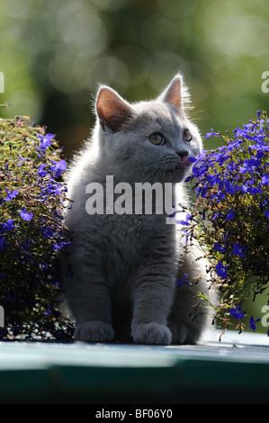 Domestic Cat, British Shorthair (Felis catus, Felis silvestris) sniffing at a flower. - Stock Photo