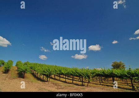 Vineyard in Central California near Sacramento - Stock Photo