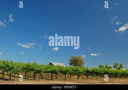 Vineyard in Central California near Sacramento - Stock Photo